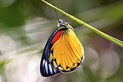 The Redspot Jezebel, Butterfly.