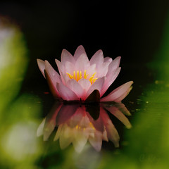 Burning Lily (Collin Key) Tags: pink flower waterlily tranquility pride burning flame seerose singleflower reflectioninwater imagepoetry soulscapes loftiness collinkey