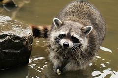 Wash your apple (Hans & Liek) Tags: zoo rotterdam blijdorp raccoon fotosafari dierentuin wasbeer