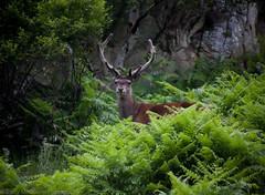 Deer in Ferns (bazmcq) Tags: scotland scottish scot braemar royal deeside royaldeeside river dee highland highlands cairngorms national park cairngormsnationalpark deer red stag wild wildlife canon eos 500d uk unitedkingdom united kingdom britain british yahoo:yourpictures=yourbestphotoof2012 barrymcqueen