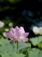 Lotus (Polotaro) Tags: flower nature pen lotus olympus   zuiko ep1      gzuiko50mmf14