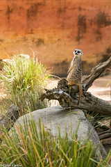 Meerkat! (Dylan Farrow) Tags: fun zoo meerkat website pixelpost flickrpost notadded 5dmarkiii