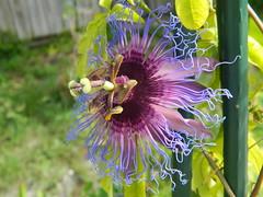 """""""Passiflora cincinnata"""" (A Botanical Wonderland (Million+ views)) Tags: flower passion species passiflora cincinnata"""