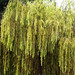 Weeping Willow {17365}