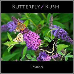 Butterfly / Bush / (Whacked) - IMRAN™ -- 1400+ Views! Explored! (ImranAnwar) Tags: 2012 butterflies d300 eastpatchogue flowers framed green imran imrananwar landscapes longisland nature newyork newflowers nikon ny patchogue scenery seasons square suffolk