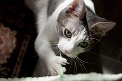 foster kitten - Hobson (seeit_snapit) Tags: cute cat 35mm october kitten kitty foster playful 2012 hobson f20 iso1000 dsc6377 nikkor35mmf18 d300s october2012