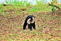 Lion-Tailed Macaque (siddharthx) Tags: animals lemur chimpanzee mysore langur monkies macaque hamadryasbaboon gaur liontailedmacaque brownlemur mysorezoo pantheratigristigris royalbengaltiger commonlangur