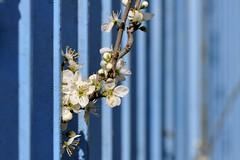 E' primavera ! (luporosso) Tags: flowers naturaleza flower primavera nature fleur spring nikon natura fiori fiore printemps naturalmente boccioli nikond300s