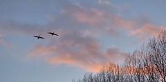 Vliegende ganzen (Omroep Zeeland) Tags: ganzen lucht helder weer