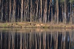 Reflection (September Songs) Tags: reflections spring wiosna narew kingfishers odbicia zimorodki