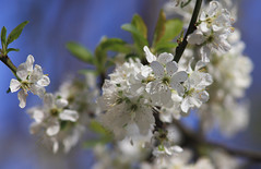 Spring Jubilance (AnyMotion) Tags: flowers blue sky plants white tree primavera floral colors spring colours blossom bokeh frankfurt ngc natur pflanzen himmel npc blte printemps baum farben frhling 2014 weis greengage anymotion canoneos5dmarkii reneklode 5d2 prunusdomesticasubspitalic