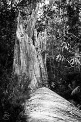 Tree Stump (medXtreme) Tags: bw tree forest blackwhite log stem australia treetrunk tasmania australien monochrom tassie schwarzweiss wald baum bole baumstamm tasmanien commonwealthofaustralia baumstrunk cradlemountainlakestclairnationalpark vandiemensland stockofatree australienkontinent lutriwita
