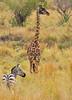 An approaching danger? (Rainbirder) Tags: kenya masaimara maasaimara giraffacamelopardalistippelskirchi grantszebra masaigiraffe equusquaggaboehmi rainbirder