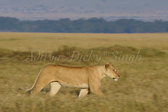 ADS_Kenya_000047177 (dickysingh) Tags: africa wild female cat nationalpark leo kenya wildlife motionblur bigcat mara lions habitat panning grasslands masaimara eastafrica pantheraleo