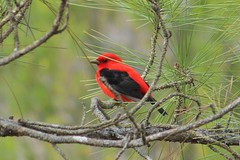 2014 04 19_3687_scarlet tanager (nbc_2011) Tags: bird nature florida animalplanet scarlettanager tanager planetearth northwestflorida