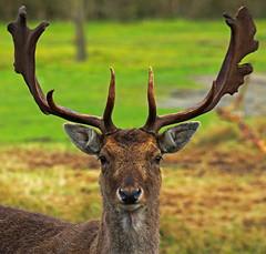 Fallow deer (eLKayPics) Tags: wild animal deer ostfriesland fallowdeer damhirsc