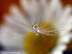 Dandelion (Grayna Paaszewska Photography) Tags: macro dandelion waterdrops dmuchawiec kropelki mniszeklekarski graynapaaszewskaphotography