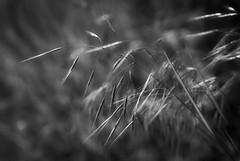 grassland (courtney065) Tags: blackandwhite bw abstract blur texture nature monochrome field grass contrast landscapes lightandshadows flora shadows artistic meadows depthoffield fields serene artisticphotography nikond200