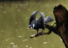 Cormoran (Carahiah) Tags: pose eau cormorant animaux rhodes branche cormoran saintecroix perch parcanimalier