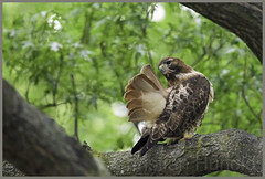 """Mom"" (Christian Hunold) Tags: bird philadelphia hawk raptor urbanwildlife redtail birdofprey redtailedhawk buteojamaicensis eakinsoval rotschwanzbussard urbanhawk christianhunold oldhawk"
