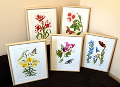 My paintings for the exhibition (esperoart) Tags: art butterfly watercolor painting botanical wings moth exhibition atlas attacus esperoart