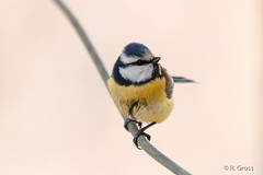 Blaumeise 8 (rgr_944) Tags: bird animals tiere outdoor natur animaux vgel oiseau vogel canoneos60dcanoneos70d rgr944