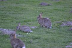 Hasen (T.TPhotografy) Tags: wildlife hasen