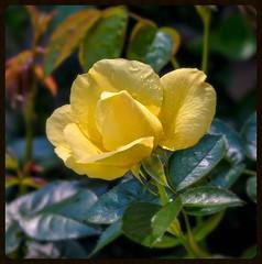 Celebrating eternal love... (bankst) Tags: sunlight rose garden spring bush nikon shadows lemonfizz d5100