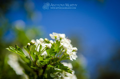 The white flowers of the hawthorn tree (mythicalireland) Tags: ireland flower blossom belief folklore luck bloom legend superstition hawthorn myths maytree fairytree whitethorn maybush maytime fairythorn sceachgheal lonebush
