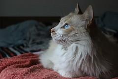 Tuoni (ojibwaarts) Tags: morning light pet cats white beauty cat morninglight eyes evil fluffy softlight ves nya