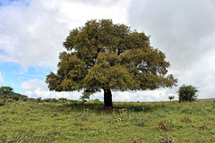 Un fiero gigante del Gerrei (Franco Serreli) Tags: sardegna verde alberi flora sardinia campagna piante panorami gerrei campagnasarda florasarda paesaggisardi