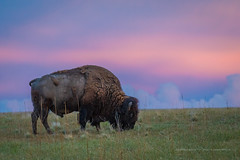 Bison at Dusk   [Explored] (Darhawk) Tags: beauty bike walking outdoors evening utah twilight buffalo sundown natural dusk hiking wildlife scenic hike trail antelopeisland saltlakecity features bison 1893 thegreatsaltlake antelopeislandstatepark daviscounty americanbison rainbowsky americanbuffalo picnickers thegreatbasin