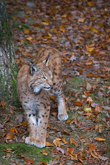 Another lynx pi (Cloudtail the Snow Leopard) Tags: animal cat mammal feline katze lynx tier pforzheim wildpark luchs sugetier