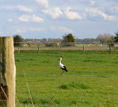 madame cigogne (pontfire) Tags: bird birds pssaro ave normandie normandy oiseau stork oiseaux cegonha cigea uccello storch cigogne  cicogna