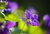 Violets (Karen McQuilkin) Tags: purple sunny violets theawardtree karenmcquilkin