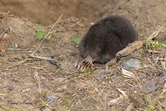 Star-nosed Mole (Bob the Birdman and All Around Nature Guy) Tags: nature animal mammal wildlife mole starnosedmole condyluracristata naturetreasures robertmiesner bobthebirdman