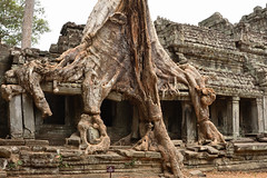 DSC_7229 (Omar Rodriguez Suarez) Tags: tree arbol temple cambodia angkor camboya