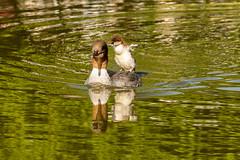 """Motherhood"" (olevikshaaland) Tags: baby reflection water duck merganser linnaeus mergus"