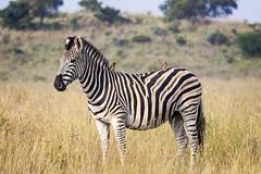 Zebra and oxpecker (Sheldrickfalls) Tags: southafrica zebra mpumalanga oxpecker plainszebra burchellszebra lydenburg redbilledoxpecker buphaguserythrorhynchus kuduranch kuduprivatenaturereserve kudugameranch boomplaats boomplaatsplains