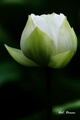 _52R3235-1 (Dream Deliver) Tags: white flower lotus kinmen