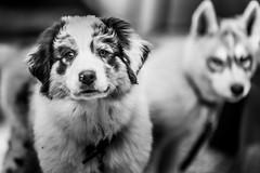 Camp Augusta (Thomas Hawk) Tags: camp dog puppy fav50 nevadacity summercamp fav10 fav25 campaugusta