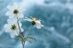 White summer (nathaliedunaigre) Tags: flowers summer white macro nature fleurs details t blanc fourmis dtails
