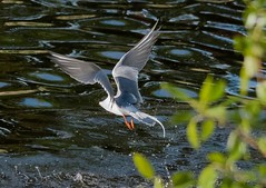 Flying angel (Adriana Faciu) Tags: bird nature angel evening edmonton flight feathers fast quick tern rapid forsters