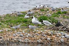 Rye Harbour Nature Reserve (tsbl2000) Tags: commontern ryeharbour sussexwildlifetrust tamron150600mm nikond810 blackheadedgull coot spring