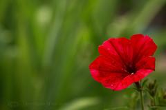 Friday's Flower! (Jay Bees Pics) Tags: flower petunia garden calver derbyshire summer 2016 offcentre bokeh ngc magicunicornverybest