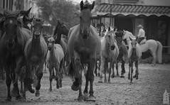 Saca de las yeguas 2016 (agurodmar1) Tags: horses españa horse naturaleza black nature animals speed canon caballo caballos photography photo blackwhite spain guadalquivir foto huelva andalucia bn fotografia andalusia tamron rocio foal saca doñana yeguas sp70300 1200d