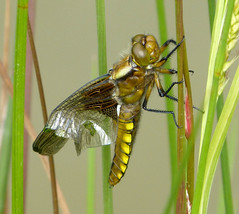 Libellula depressa with deformed wings (gailhampshire) Tags: wings with imperfection deformed libellula depressa
