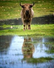 O reflexo da bravura!  graas s touradas, aos aficionados apaixonados pelo campo, pelo toiro, pelos animais que o toiro foi salvo da extino e  possvel obter est imagem! #touradas #iglx #portugal #p3 #p3top #tourada #tauromaquia #rejoneo #ribatejo # (Protoiro) Tags: toros bullfight tauromaquia touradas protoiro