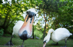 Swan Close-Up (Alastair Marsh Photography) Tags: muteswan muteswans swan swans feathers feather wildlife animal animals wide wideangle wideanglewildlife animalsintheirlandscape bird birds water waterbird britishwildlife britishanimals britishanimal britishbirds britishbird