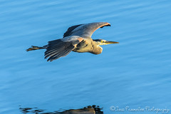 Great Blue Heron (Chris Parmeter Photography (smokinman88)) Tags: blue reflection bird heron water animal sport geotagged flying washington nikon great sigma skagit d500 150600mm